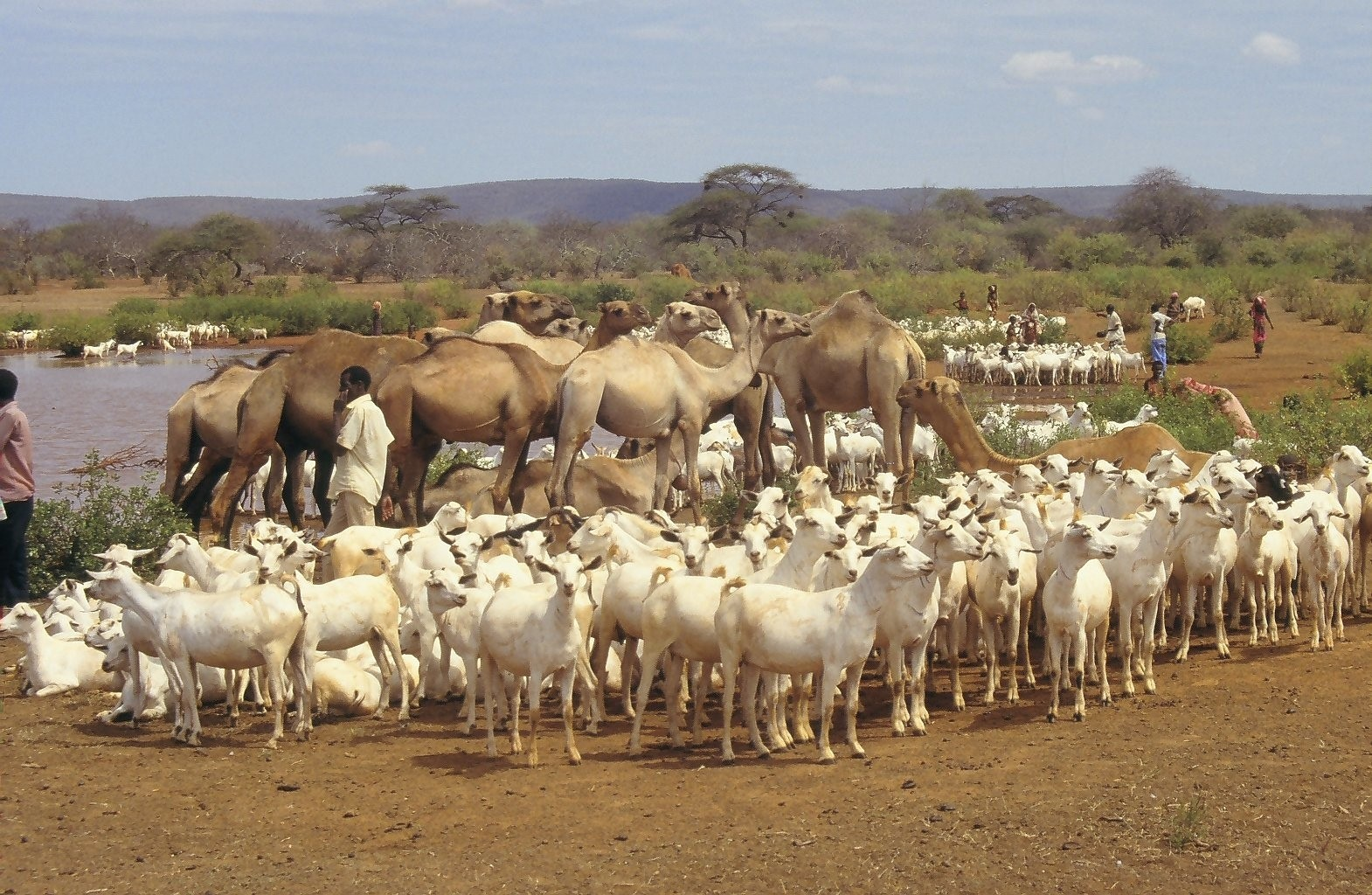 Somalia livestock at water point