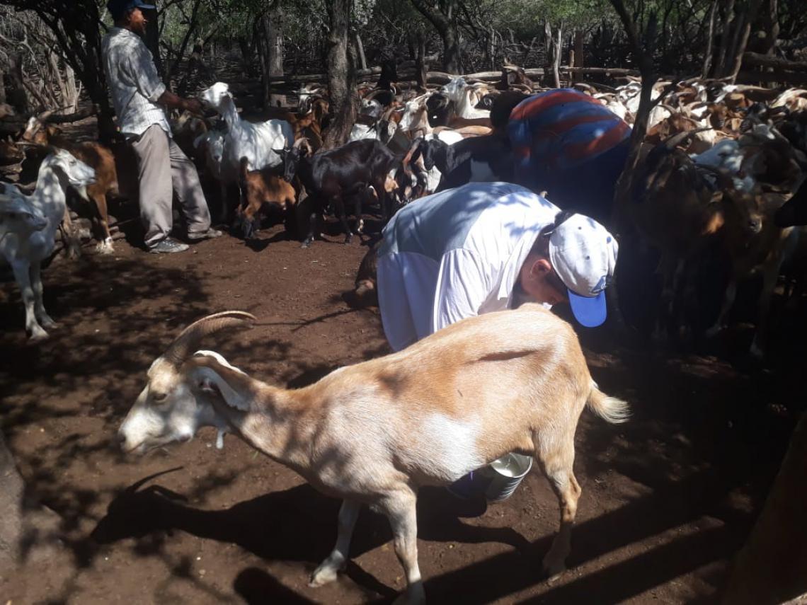 Milking goats