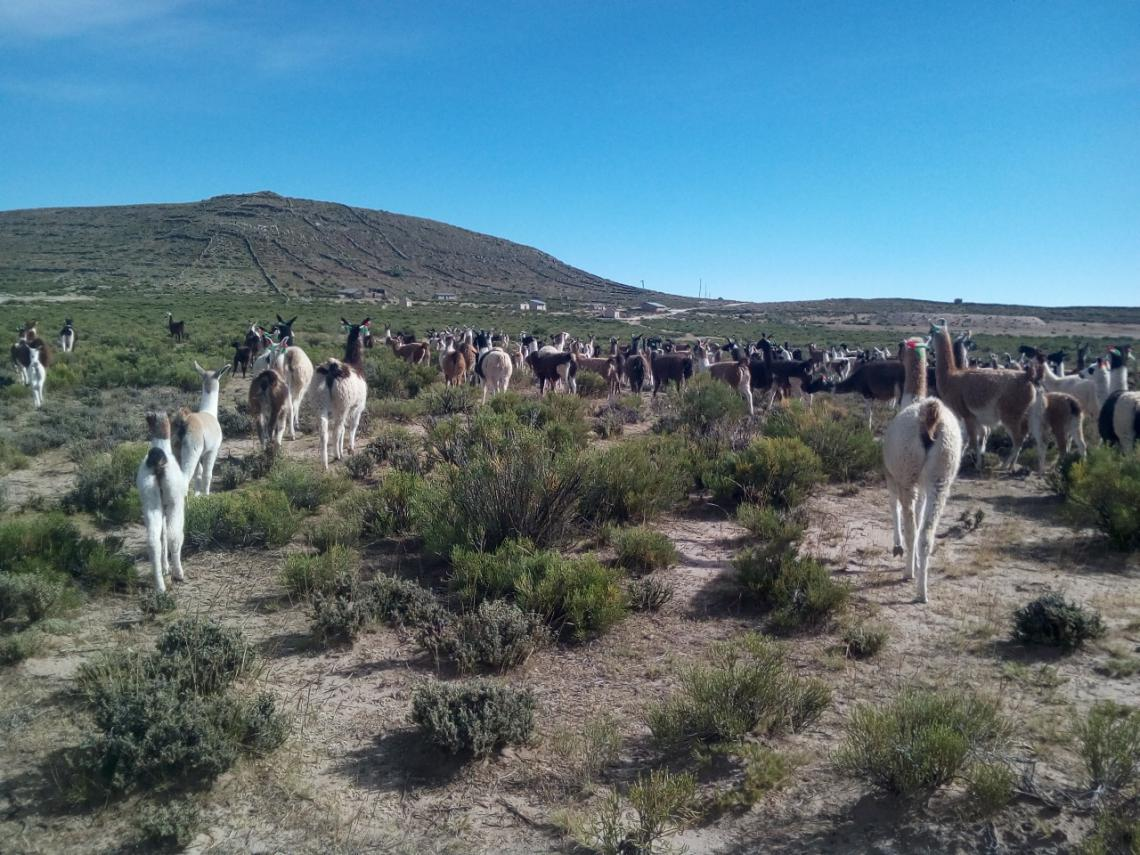 Camelids in Chaco