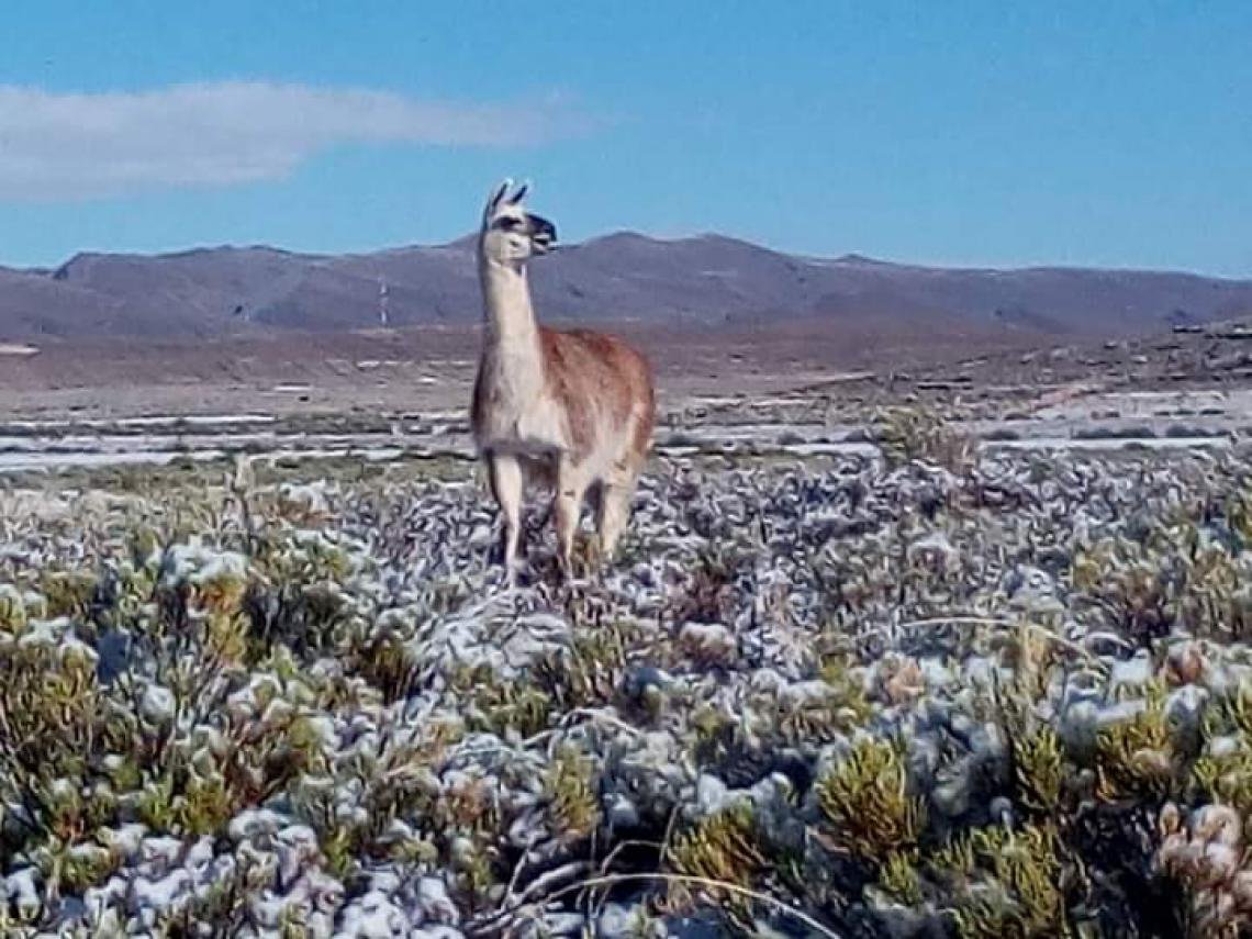 Camelid in winter