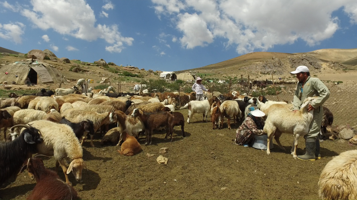 Milking sheep flock