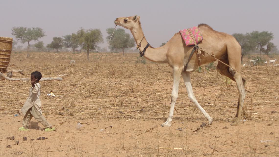 Child leading camel