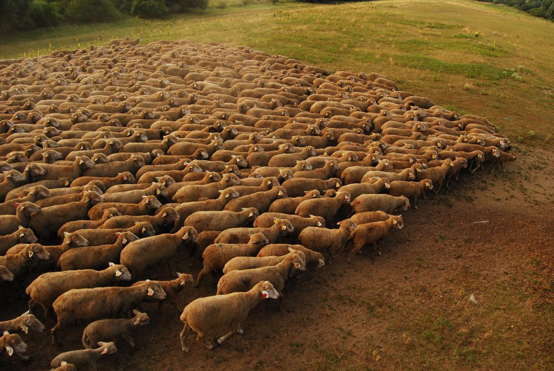 Merino sheep in Slovakia