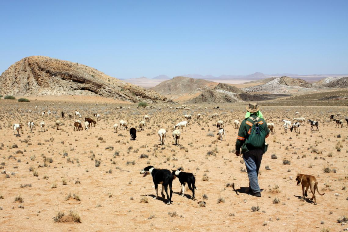 Dogs and herder