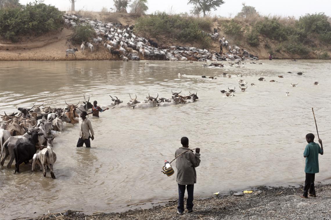 Herd crossing river